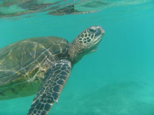 Hawaiian-Honu-green-sea-turtles-Maui-Hawaii